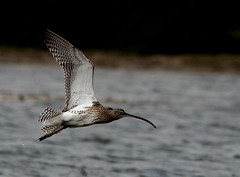 IMG_9414 (rajashekarhk) Tags: curlvew pulicotlake migraterybirds beauty birds birdlife birdphotography fly flight curlves fli curlvewinflight backwaters nature naturephotography rajashekar hkr andhrapradesh