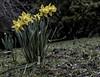 easter daffodil hunt