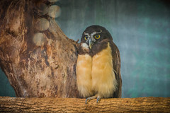 Owl (A Great Capture) Tags: zoo toronto nocturnal night bird birdofprey hoot owl agreatcapture agc wwwagreatcapturecom adjm ash2276 ashleylduffus ald mobilejay jamesmitchell on ontario canada canadian photographer northamerica torontoexplore winter l'hiver 2018 eos digital dslr lens canon 70d natur nature naturaleza natura naturephotography naturethroughthelens outdoor outdoors