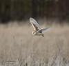 My first Barn Owl (mikedenton19) Tags: barn owl barnowl tyto alba tytoalba bird prey birdofprey predator malton northyorkshire wildlife grassland nature