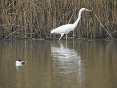 Great White Egret (Dave G8HPV) Tags: great white egret brandon marsh warwickshire