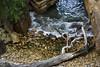 A connection with water (Keith Midson) Tags: tree blackmansbay tasmania water blowhole rocks sea shoreline sigma 85mm