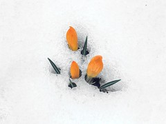 Longing for the Spring - the uprising of plants and flowers_IMG_E7794n (AchillWandering) Tags: flower wild snow crocus olivieri chelmos mountain greece peloponnisos achaia peripolo dream naturephotography rose