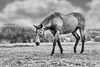 B+W Horse 2 (AnthonyCNeill) Tags: horse pferd caballo cheval blackandwhite blancaynegra blancetnoir outdoor countryside animal equine schwarzweiss