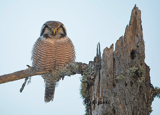 Hawk Owl - golden hour