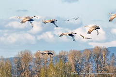 Gliders (Gary Grossman) Tags: cranes birds landing landscape northwest oregon flight flying clouds sping trees beauty nature wild wildlife garygrossmanphotogrpahy sauvieisland sandhillcranes geese canadageese pacificnorthwest wildlifephotography naturephotography