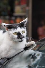 Jordan (tomosang R32m) Tags: 香港 hongkong uo hongkongexpress hkexpress kowloon 九龍 yaumatei 油麻地 street jordanroad jordan 佐敦 彌敦道 nathanroad 猫 cat