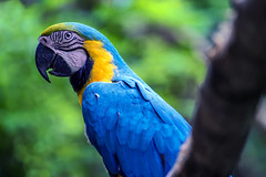 If Looks Could Kill (Lemuel Montejo) Tags: macaw bird animals jungle wild greens outdoor nature araararauna blueandyellowmacaw