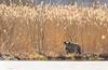 golden hour by the river (Harles Azza Photography) Tags: hjälstaviken wildhog boar wildboar