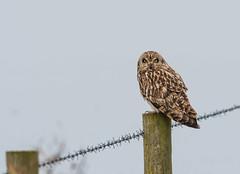 Short-Eared Owl on a Very Misty Morning at Eldernell RSPB 14-04-2018-4303 (seandarcy2) Tags: owls shorteared raptors birds of prey eldernell rspb cambs uk winter migrants fenland