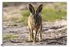 Lièvre de Montipèze (jcongre) Tags: livre animalier affût camouflage prairie champs forêt lapin