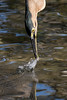 Critical Moment (armct) Tags: butoridesstriata striated heron mangrove fish capture speed shutter fast wetland currumbincreek goldcoast queensland wader waterbird reflexes feeding predator splash impact closeup