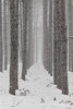 Snow Falling in Red Pine Plantation in Central Michigan (Lee Rentz) Tags: april canadianlakes norwaypine america bark bigrapids blizzard boles branches centralmichigan dense evenlyspaced fallen falling forest impressionistic industry lines logging lowerpeninsula lumber michigan northamerica pine pineplantation pines pinusresinosa plantation planted redpine regimented rows sandysoil snow snowflakes snowing snowy spacing stanwood straight tree trees trunks usa vertical whorls winter wintery wintry woods