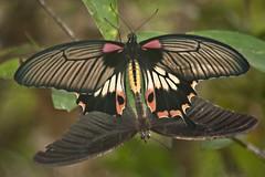 Papilio memnon agenor (Great Mormon) (GeeC) Tags: animalia arthropoda butterfliesmoths cambodia greatmormon insecta kohkongprovince lepidoptera nature papilio papiliomemnonagenor papilionidae papilionoidea tatai truebutterflies