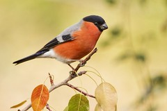 Camachuelo (Alberto GS) Tags: bird aves camachuelo bullfinch
