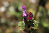 Lamium amplexicaule  Lamium amplexicaule  ホトケノザ (ashitaka-f studio k2) Tags: flower pink purple japan lamium amplexicaule ホトケノザ シソ科 lamiaceae