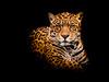 Jaguar (Peter Quinn1) Tags: jaguar portrait lowkeyimage stare captivejaguar atthezoo postprocessing intense black blackbackground