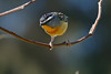 Spotted Pardalote (M) (Rodger1943) Tags: pardalotes spottedpardalote australianbirds fz1000
