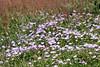 Bogong Daisy Bush (Olearia frostii) (misty1925) Tags: bogongbushdaisy flowers daisy blooms northeastvictoria mthotham