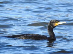 Cormorant (PhotoLoonie) Tags: cormorant bird waterbird nature wildlife
