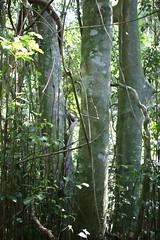 Socketwood (Daphnandra johnsonii) (Poytr) Tags: arfp nswrfp rainforest forest tree endangered rareplant subtropicalarf subtropicalarfp subtropicalrainforest foxground illawarra daphnandra daphnandrajohnsonii atherospermataceae kiama coppice illawarrasocketwood socketwood nsw australia trunk canonefs24mmf28stm pancakelens
