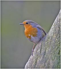 Robin (Charles Connor) Tags: robins europeanrobin colourfulbirds gardenbirds birdphotography birds naturephotography nature wildlife wildlifephotography wild penningtonflash canon100400lens canon6d