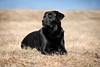 Bichou in steppe landscape (uwe.kast) Tags: labrador labradorretriever labradorredriver hund haustier dog gras steppe bichou black canon canon750d ef70200mm