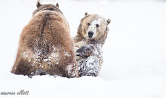 Morning Routines? (maureen.elliott) Tags: grizzlyandwolfdiscoverycentre grizzlybear playing tussle snow wildlife animals westyellowstone montana 7dwf