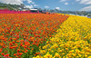 The Flower Fields 3.24.18 4 (Marcie Gonzalez) Tags: the flower fields carlsbad southern california ca flowers attraction attractions destination destinations plant plants petal petals bloom blooming blooms many botanical botanicals light day morning lighting sun sunny daylight natural nature theflowerfieldscarlsbad san diego field rainbow rows color colors bright ranunculus county north america usa socal so cal marcie gonzalez marciegonzalez marciegonzalezphotography photography canon theflowerfields flowerfields blanket cover covered horizon thousands spread 2018