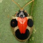 Tortoise beetle smiley, Spilophora cuneata, Cassidinae thumbnail