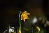 St Davids Daffodil (Barry Potter (EdenMedia)) Tags: barrypotter edenmedia nikon d7200 nikonflickrtrophy daffodil sigmalens