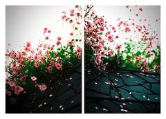 cosmos コスモス (kouji fujiwara) Tags: cosmos コスモス olympuspenf orympus pen f zuiko42mmf12 flower f12 wideopen hzuikoautos42mmf14 hzuikoautos 42mmf12 hzuiko