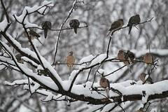 planning a coo (karma (Karen)) Tags: baltimore maryland home backyard birds morningdoves snow branches dof bokeh hbw topf25