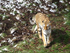 Hello there, pussy cat (Tschuna) (LadyRaptor) Tags: yorkshirewildlifepark yorkshire wildlife park doncaster ywp nature outdoors winter spring springtime cold freezing ice icy snow snowing flurry flurries grass branches prowl prowling walk walking watching looking alert cute animal animals predator feline felines felidae large big cat cats stripes stripy striped amur siberian tiger tigers panthera tigris altaica landofthetiger female tigress beautiful tschuna