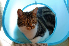Brian in his tent (zawtowers) Tags: brian cat feline kitty cute play tent blue hiding peeking watching afsnikkor50mmf18g 50mm fifty