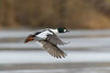 Knipa / Common Goldeneye / Bucephala clangula (Andreas_Pettersson) Tags: knipa goldeneye commongoldeneye bird flyingbird