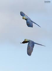 [Indigo] Lear's Macaw (Anodorhynchus leari)