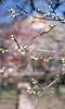 The plum blossoms in Kitano Tenmangu Shinto Shrine 2018/03 No.17(taken by film camera). (HIDE@Verdad) Tags: nikonf nikkorsauto55mmf12 nikon ニコン nikkors nikkorauto nikkor fujifilm rdpiii