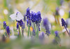 down in the meadow (cherryspicks (off)) Tags: flower meadow spring butterfly hyacinth muscari nature preslica vretenak croatia grass lowpov blue bucolic