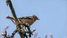 LR7-PGH55152 (JB89100) Tags: 2018 oiseaux pinson stmartindt ou quoi