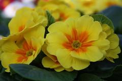 IMG_0945 (SPARTANO 2010 -now it's summer !!!) Tags: primula giallo foglia verde marzo calabria giardino parghelia campagna