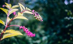 ___自然___ (0sire) Tags: nature bokeh colorful colors colours multicolored multicoloured berries green pink purple