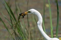 Snake For Dinner (Travis Rhoads) Tags: yellow greategret snake birdphotography brazosbendstatepark wildlife sonyalphaa9ilce9 sony70200gm