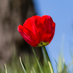 Rote Tulpe - Red Tulip thumbnail