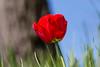 Rote Tulpe - Red Tulip (Jutta M. Jenning) Tags: tulpe tulpen rot bluete blueten blume blumen fruehblueher gartentulpe gartenblume fruehling blatt blaetter macro nahaufnahme makrofotografie tulip tulips makro natur nature closeup gerahmt wiese plant plants eos70d canon red flowers