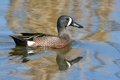 Male Blue-winged Teal (NaturalLight) Tags: male bluewingedteal bluewinged teal chisholmcreekpark wichita kansas