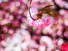 櫻花泡泡@大阪造幣局 (紅襪熊(・ᴥ・)) Tags: olympus omd em1 m43 micro43 microfourthirds olympusem1 pentacon av 2880 pentaconav2880 80mm f28 pentaconav80mm28 80mmf28 bokeh sakura 櫻 櫻花 cherryblossoms pink flower flowers blossom blossoms castle cherry cherryblossom cherryblossomfestival cherrytree cherrytrees garden light macro nature park plant sky spring travel tree trees white さくら サクラ 春 桜 花 花見 賞櫻 日本 japan 粉 粉紅 大阪 造幣局 大阪造幣局