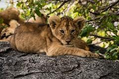 Curious Cat (iamfisheye) Tags: 50200mm asilia camera em1 kit lens namiriplains oly2 olympus safari serengetinationalpark tanzania2018 zd zuiko f2835 mkii omd