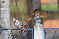 Northern Flickers (hoppedscott) Tags: flicker northernflicker birding outdoors nature bc vernon colaptesauratus coolspond matingdance