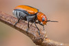 Coleoptera (gatorlink) Tags: canon6dmarkii nature canonmpe65mmf2815xmacrophoto mt26exrtmacrotwinlite gainesville florida alachua forest swamp flash beetle coleoptera orange black macro